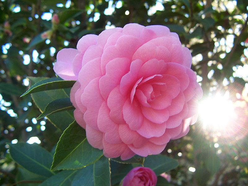 Bà Vinh ở Hà Nội hỏi: Cách phân biệt cây hoa trà nội và cây hoa trà ngoại? cách nhân giống và trồng hoa trà trong chậu thế nào?
