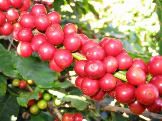 coffeecatucai550x413