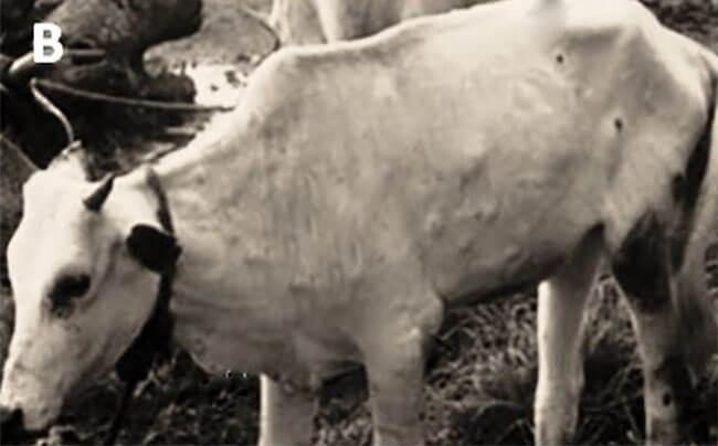 Ông Toán ở Đồng Giao, Ninh Bình hỏi: Bệnh viêm da nổi cục trên trâu, bò; cách phòng trị?